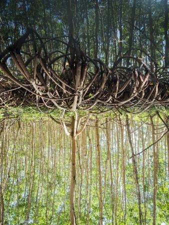mangrove, palétuviers, guadeloupe, antilles, kayakmangrove, palétuviers, guadeloupe, antilles, kayak